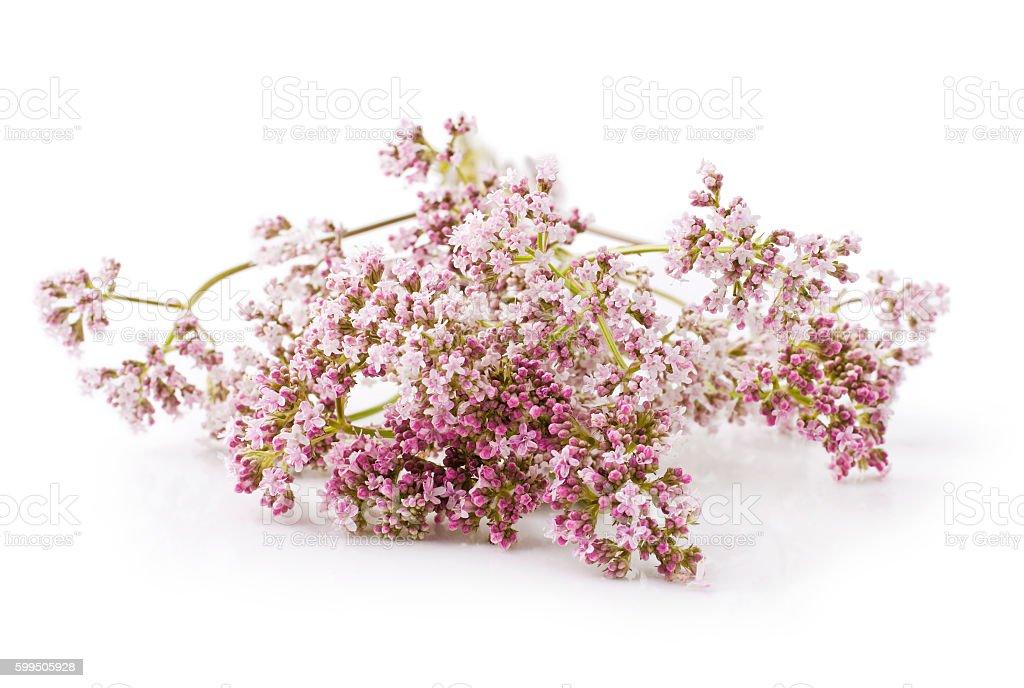Valerian herb flower sprigs – Foto