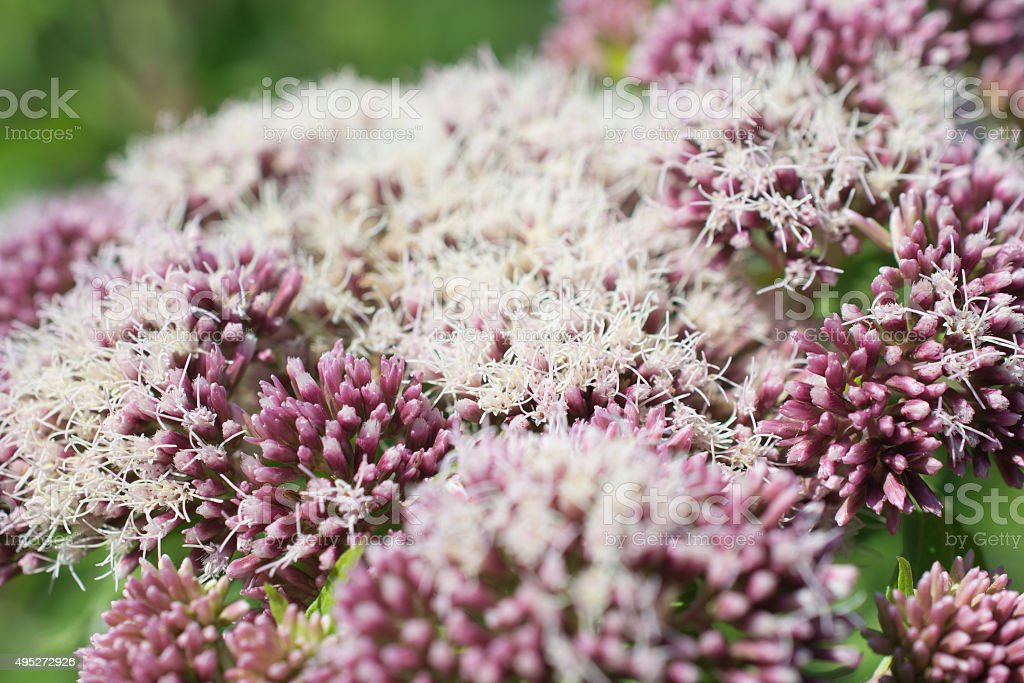 Valerian in voller Blüte. – Foto
