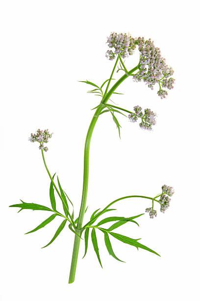 Valerian (Valeriana officinalis) – Foto