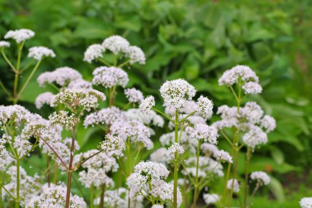 Valeriana Officinalis, Heilpflanze – Foto