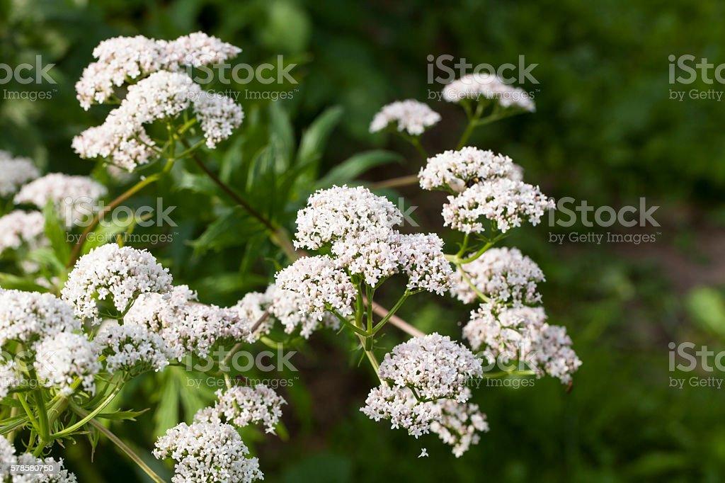 Valeriana plant – Foto