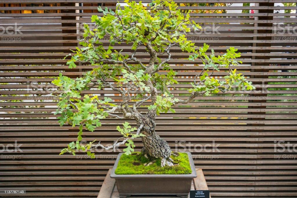 Valley Oak Bonsai Tree Stock Photo Download Image Now Istock