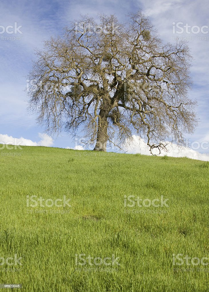 Valley Oak Tree on Hill royalty-free stock photo