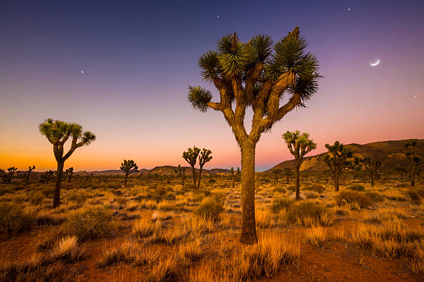 Valley of Joshua Trees A grove of Joshua Trees being bathed in the soft glow of morning twilight in Joshua Tree National Park, CA. mojave desert stock pictures, royalty-free photos & images
