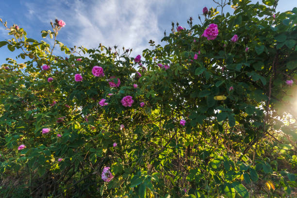 Valley of Roses stock photo