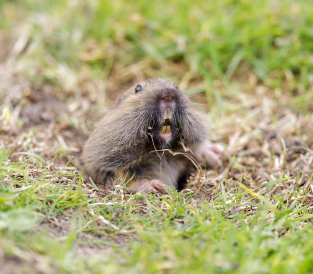 Valley Pocket Gopher (Thomomys bottae) emerging from the burrow. stock photo