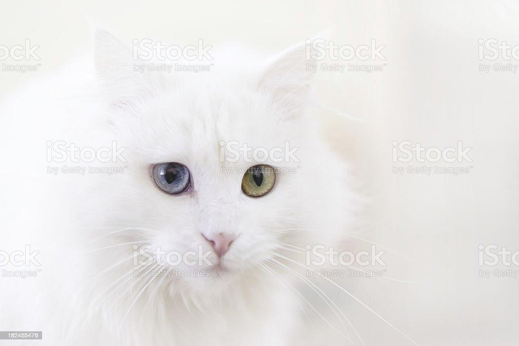 Van Cat stock photo