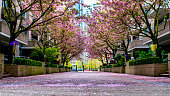 Vancouver, British Columbia, Canada. Residential area of the downtown. Cherry trees blossoms on a sunny day in spring along with people enjoying the moment.