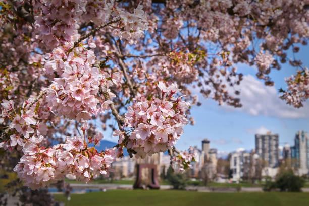 vancouver cherry blossoms - cherry blossoms imagens e fotografias de stock