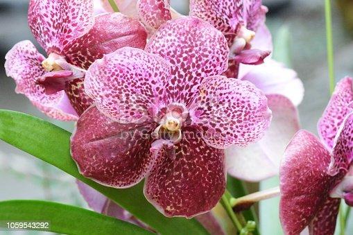Epiphytic orchid / Vanda blue orchid