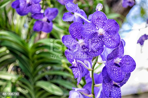 Vanda is an epiphytic orchid with a large single stem, alternate leaves strap leaved, guarter-terete or tererte leaved, similar in size of sepals and petals. Some vandas are fragrant and popular to grow as breeder collection especially this Vanda.