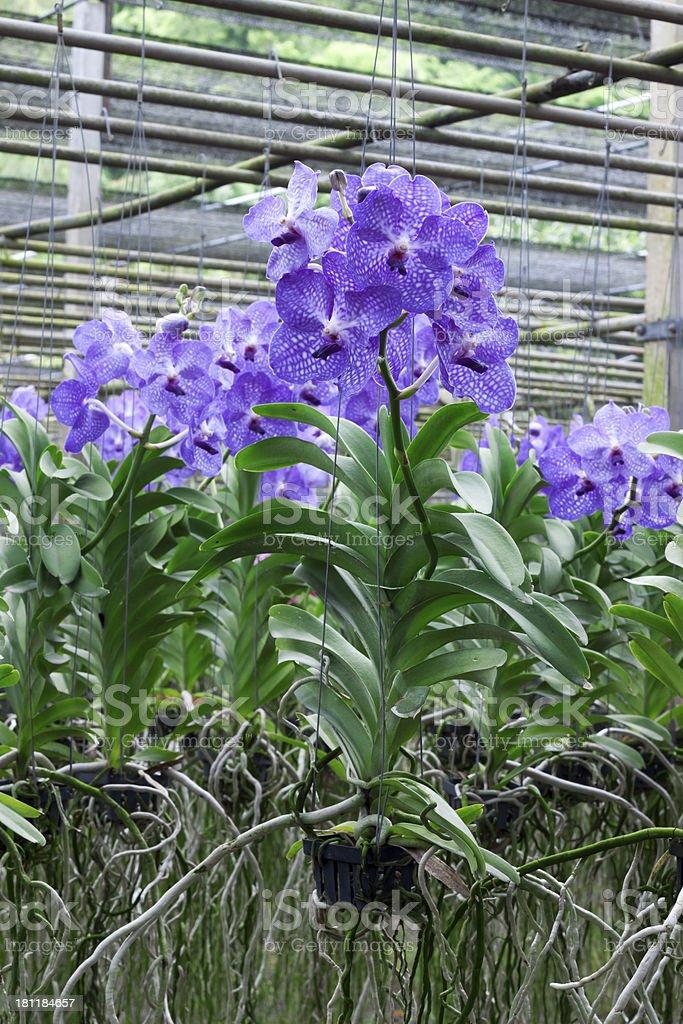 Vanda Coerulea Orchid stock photo
