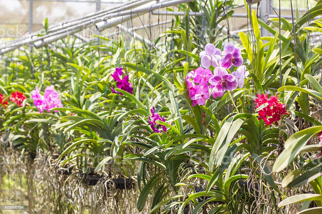 Vanda Orchid Farm stock photo