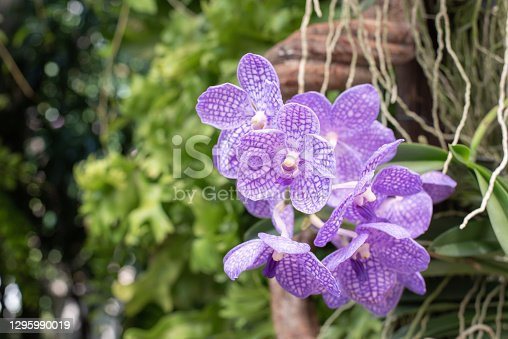 Close-up of Vanda Orchid, a purple orchid in the garden
