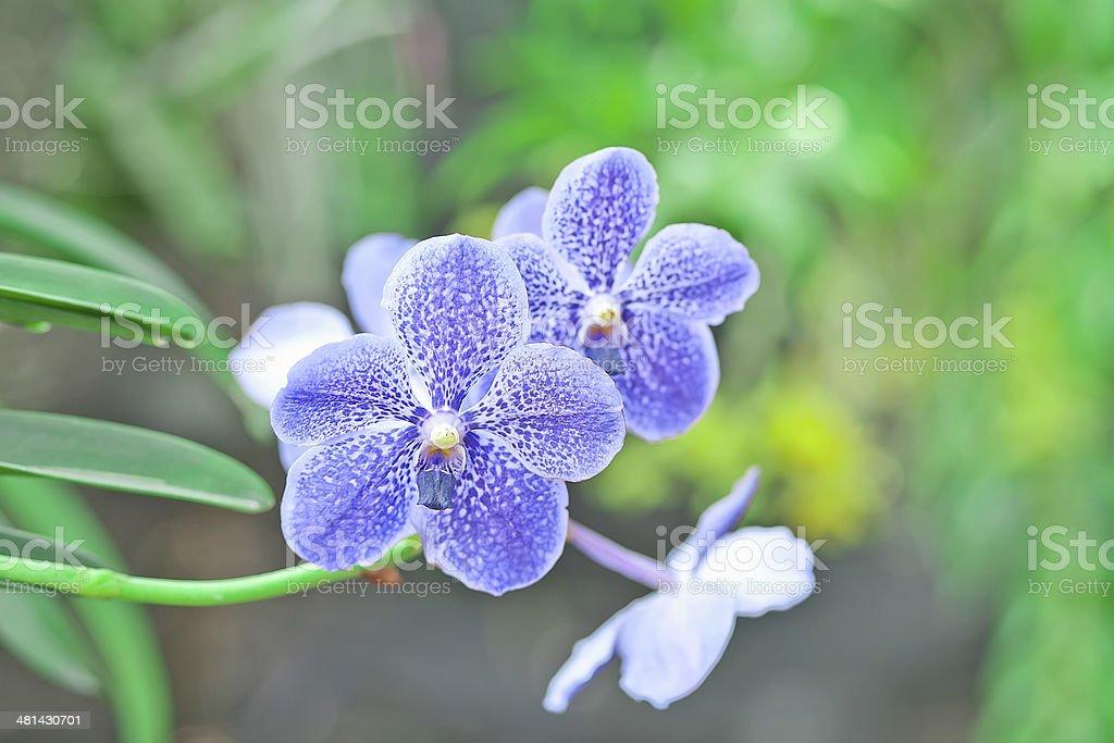 Vanda orchids stock photo
