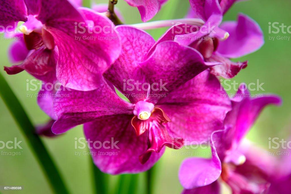 Vanda Penang Currency orchids Lizenzfreies stock-foto