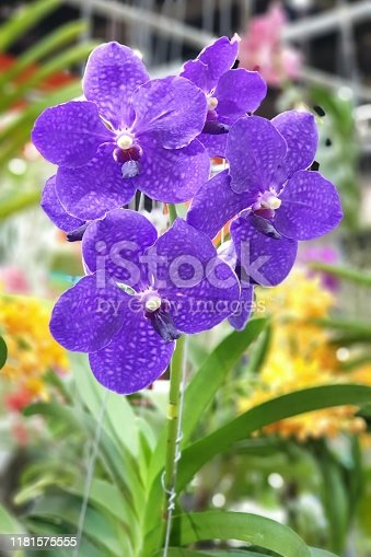 Vanda Purple Orchids Flower