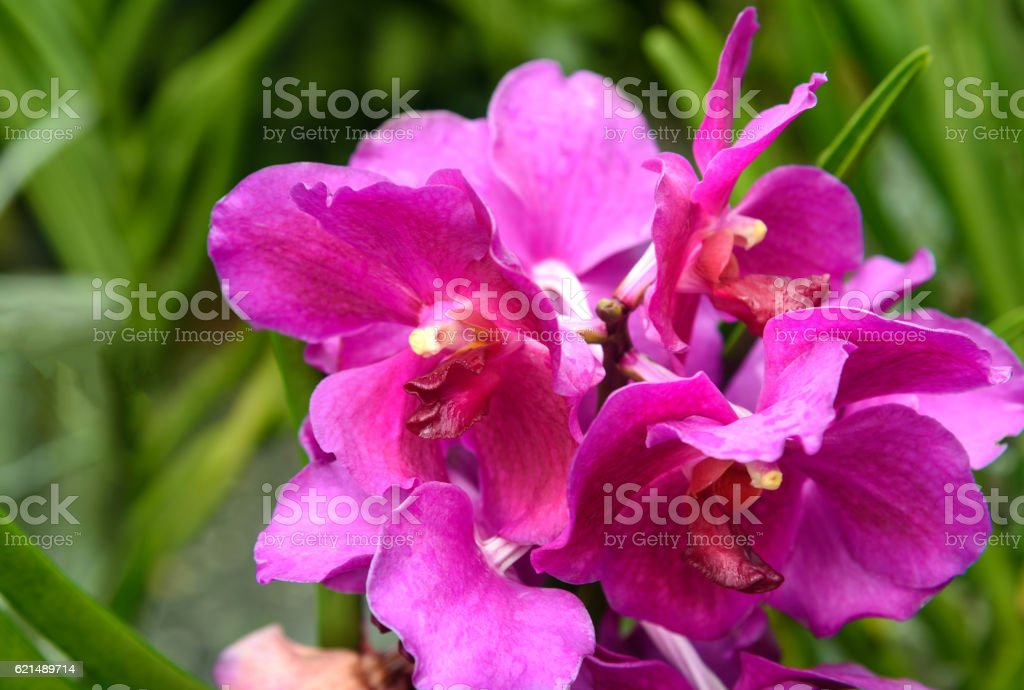 Vanda taib orchids foto stock royalty-free