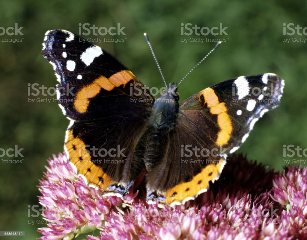 Vanessa atalanta;  butterfly stock photo