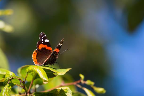 Vanessa Atalanta Schmetterling mit schwarz orange Wings auf grüne Blatt sitzen – Foto