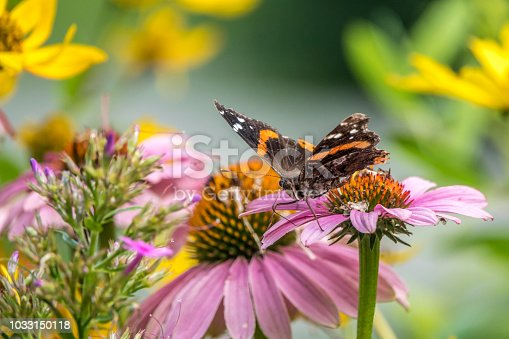 Vanessa atalanta, the red admiral or previously, the red admirable,, medium-sized butterfly