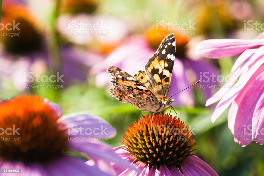Vanessa cardui butterfly on a flower stock photo