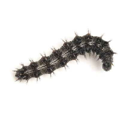 Vanessa cardui caterpillar from above