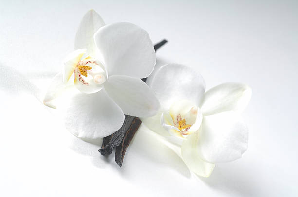 Vanilla beans and flowers isolated on a white background stock photo