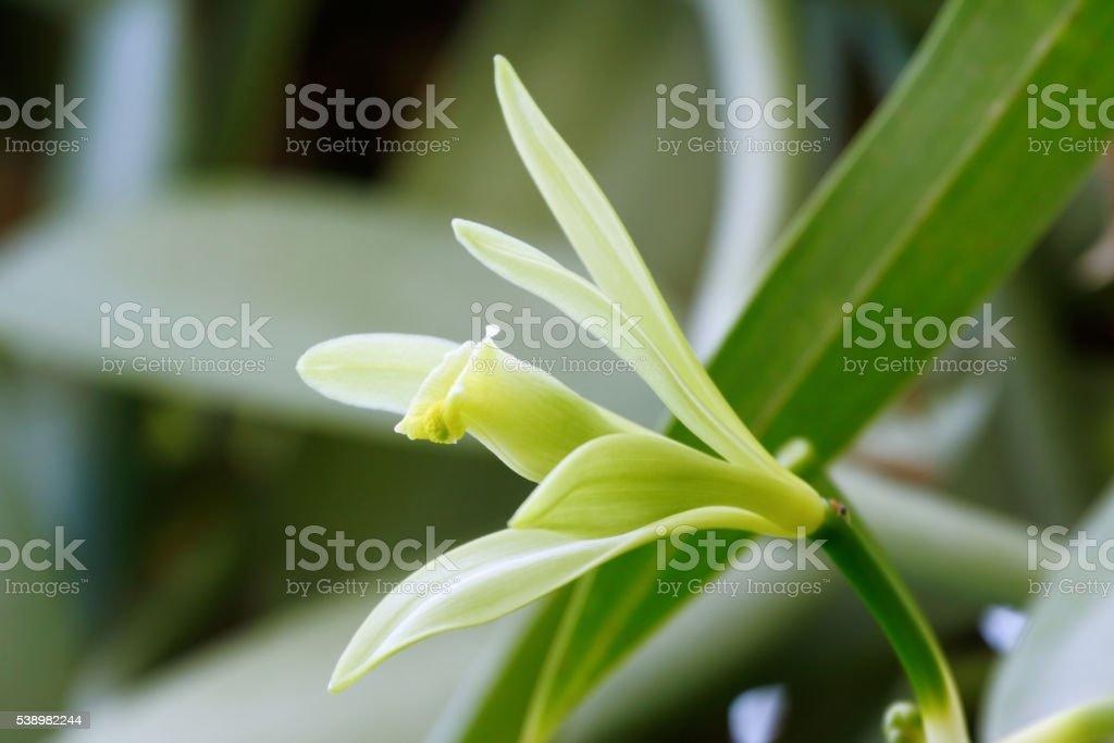 Vanilla flower - Royalty-free Botany Stock Photo