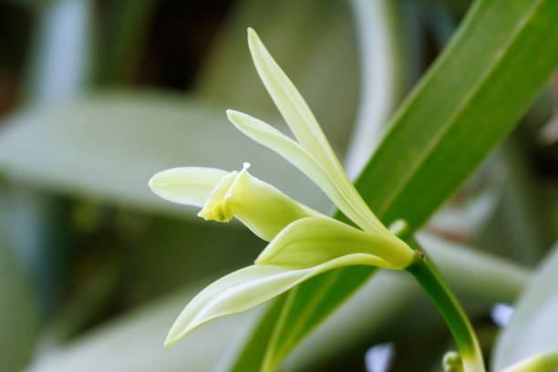 Vanilla flower stock photo