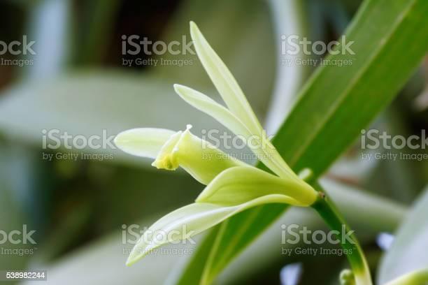 Vanilla Flower Stock Photo - Download Image Now