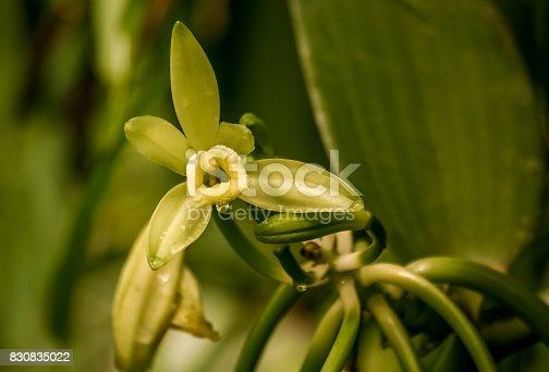 istock Vanilla flower 830835022