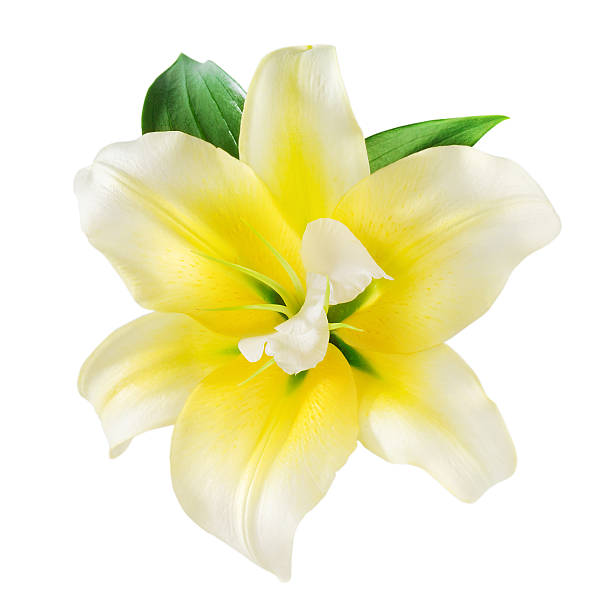Vanilla Flower Stock Photos, Pictures & Royalty-Free ...