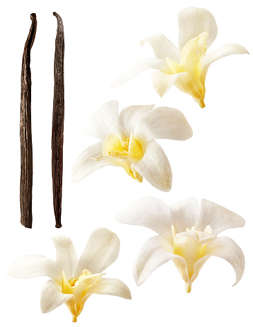Isolated vanilla flowers on white background. Aromatic, fresh vanila flower yellow and white. Orchids and stick. Flavour, organic, tasty, elements, nature and natural.