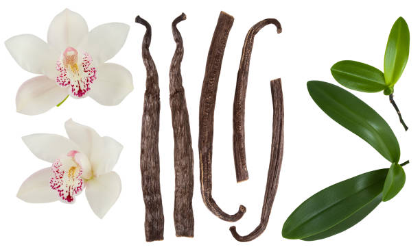 Vanilla isolated on white background set. Orchid  flower, stick or dry bean and green leaves group collection Vanilla isolated on white background set. Orchid  flower, stick or dry bean and green leaves group collection plant pod stock pictures, royalty-free photos & images