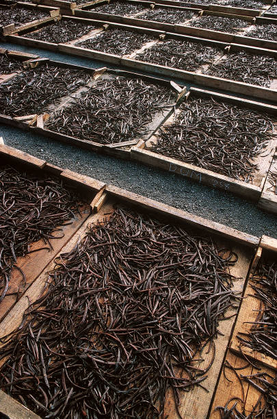 Vanilla Vanilla drying under the sun vanilla orchid stock pictures, royalty-free photos & images