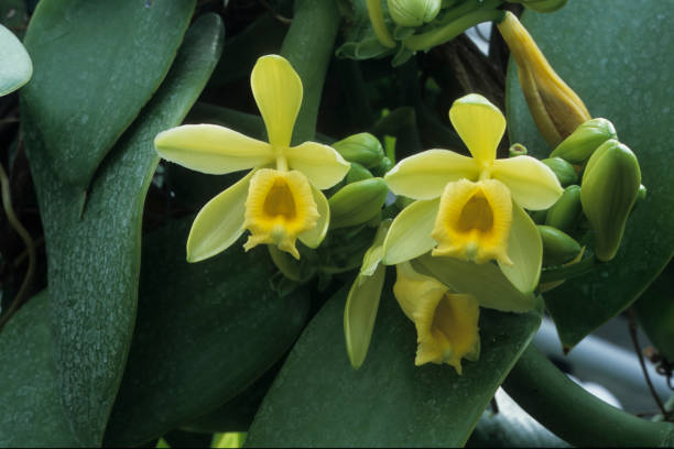 Vanilla Yellow flowers of Vanilla vanilla orchid stock pictures, royalty-free photos & images