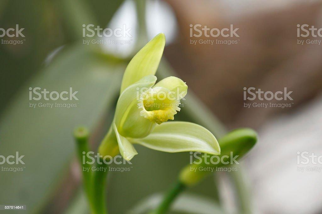 Vanilla planifolia stock photo