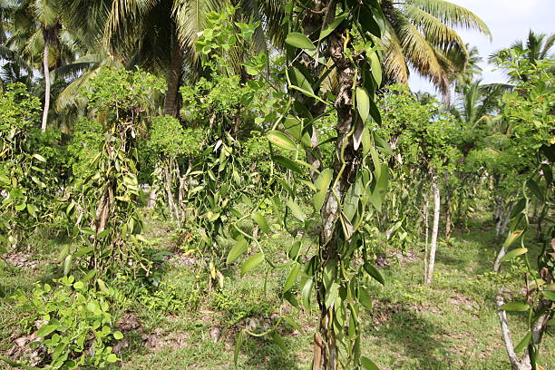 Vanilla planifolia plantation with orchids growing between coconut palm trees. Vanilla planifolia plantation with orchids growing beteen coconut palm trees. vanilla orchid stock pictures, royalty-free photos & images