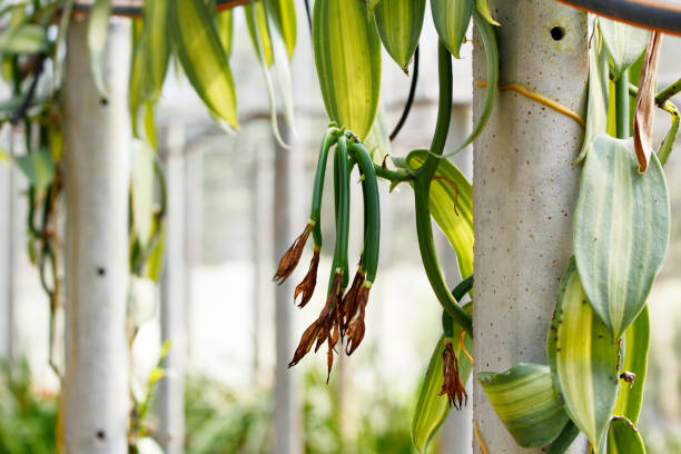 Vanilla pod Vanilla young fruit (vanilla bean, pod) ,The Vanilla planifolia (orchid) fruits are harvest and cured to dried the pod for extract vanilla flavoring. vanilla orchid stock pictures, royalty-free photos & images
