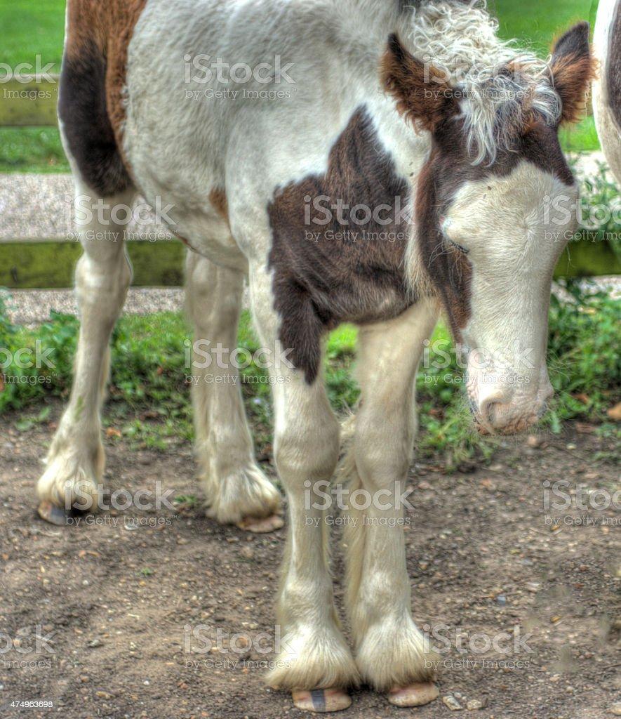 Vanner foal stock photo