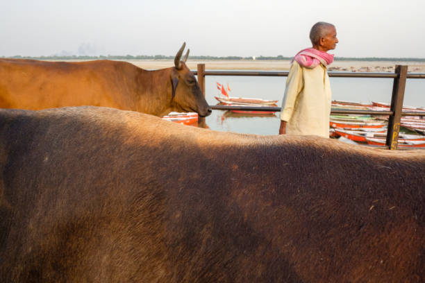 Varanasi Dashashwamedh Ghat Man and Cows Varanasi, India - May 3, 2017: A local man stands by his cows along Varanasi's popular Dashashwamedh Ghat, with a view of the river and boats in the background. dashashwamedh ghat stock pictures, royalty-free photos & images