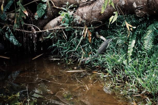 Varanus salvator alias asian water monitor lizard entering a small stream in the middle of the borneo rainforest Varanus salvator alias asian water monitor lizard entering a small stream in the middle of the borneo rainforest alias stock pictures, royalty-free photos & images