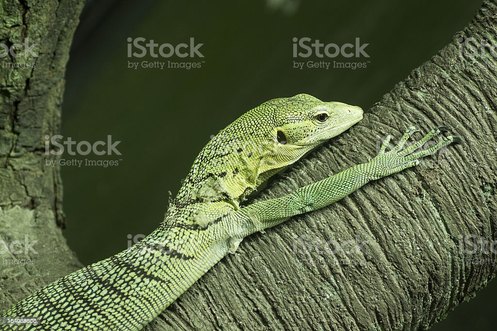 Varanus salvator or Green Tree Monitor stock photo