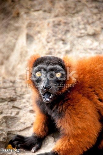 Varecia rubra-Red Ruffed Lemur