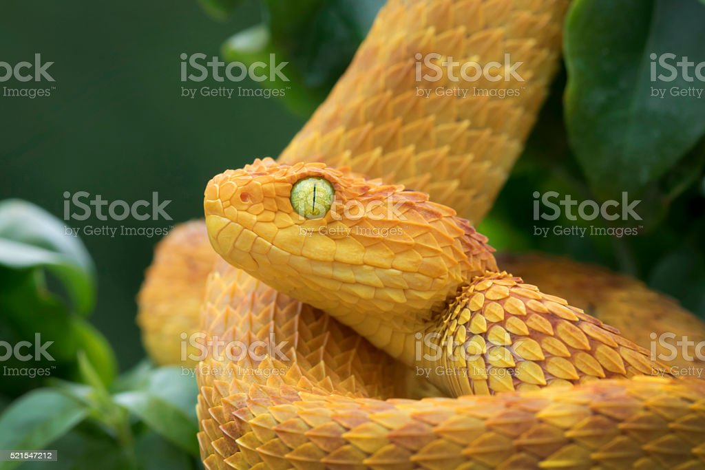 Variable Bush Viper - Orange Phase in Rainforest stock photo