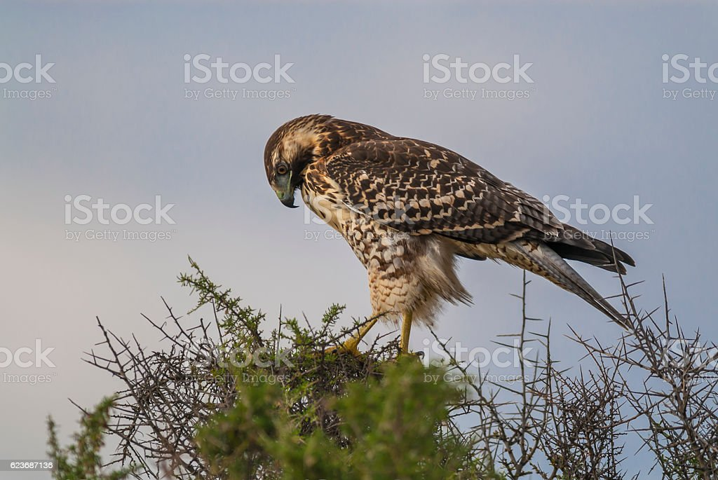 Variable Hawk stock photo