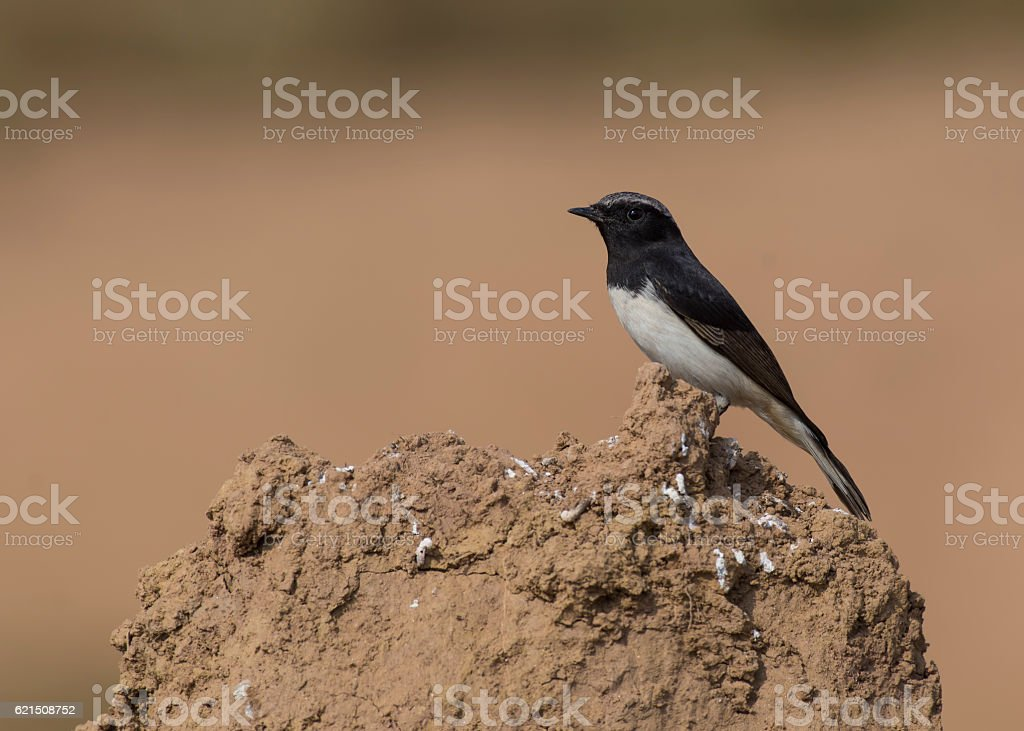 Variable Wheatear Oenanthe picata foto stock royalty-free