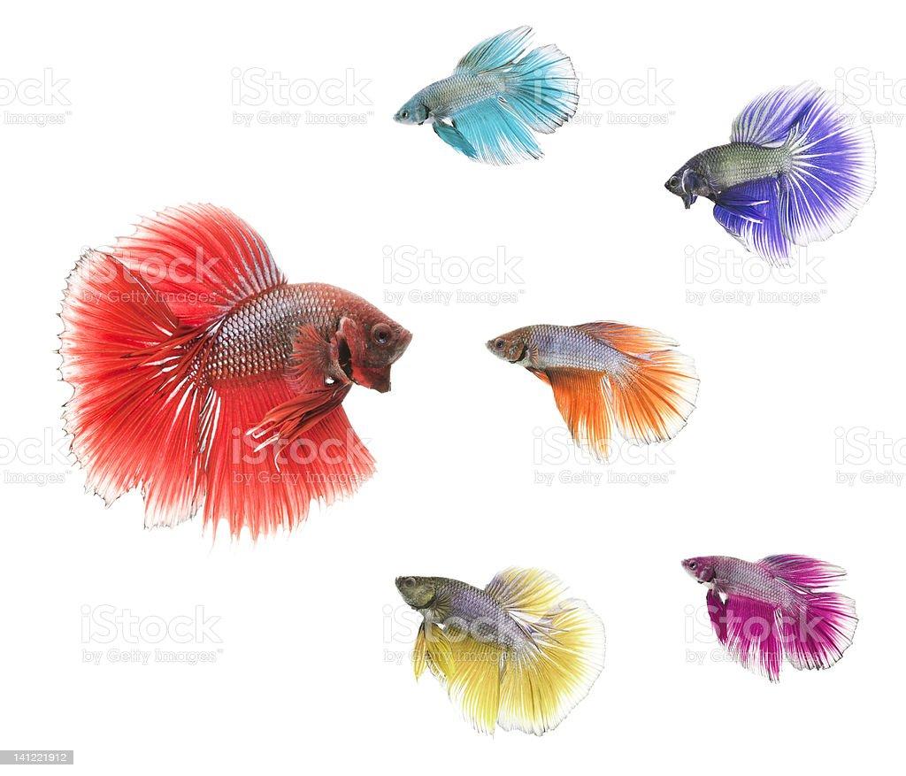 Variation Of Betta Fish stock photo | iStock