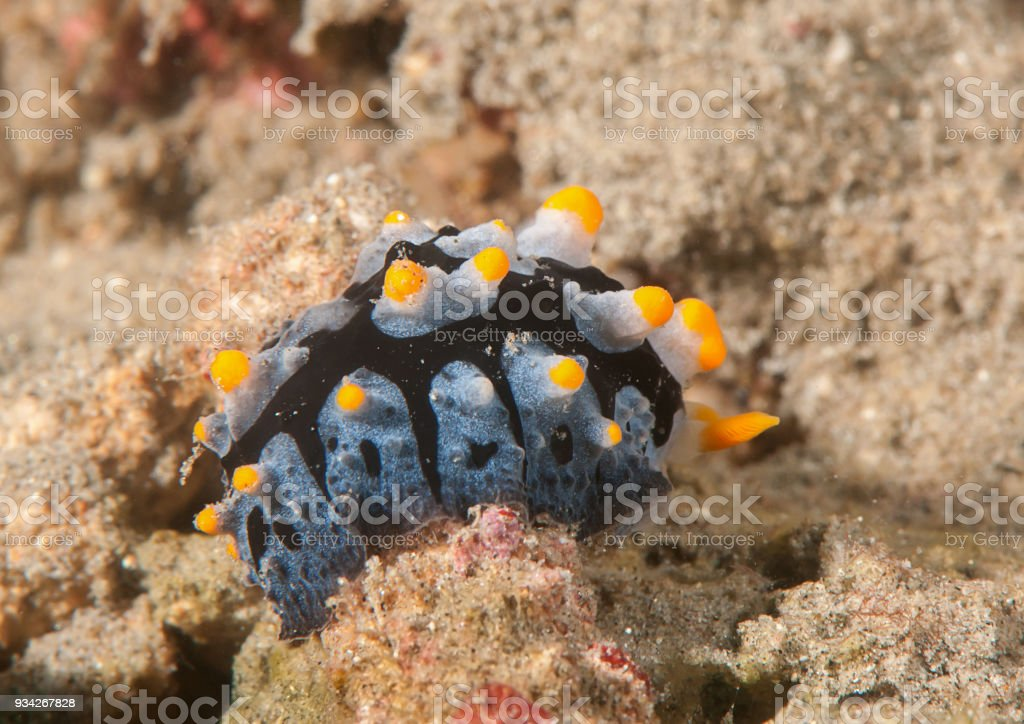 Varicose phyllidia nudibranch crawling across the seafloor of Bali stock photo